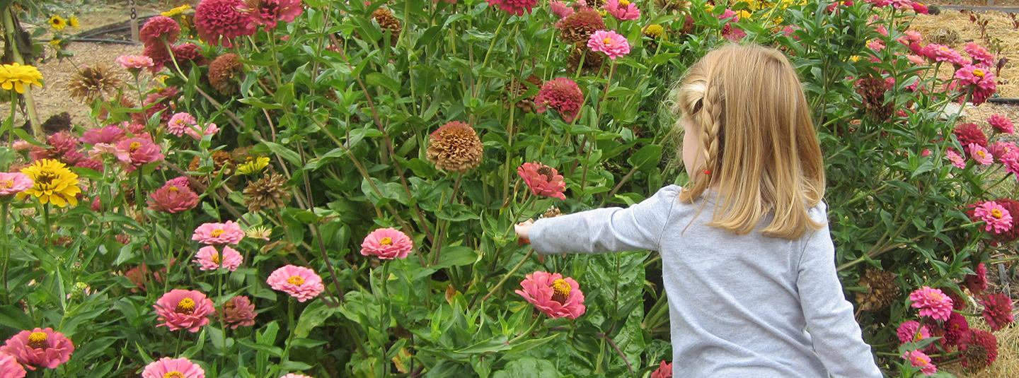 Child picking zinnias