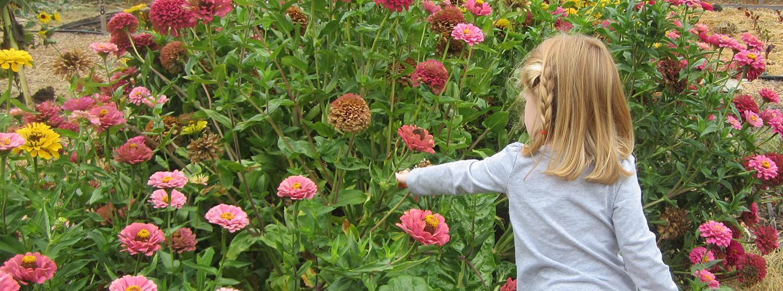 Child picking zinnias